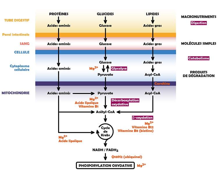 Métabolisme des nutriments et énergie cellulaire