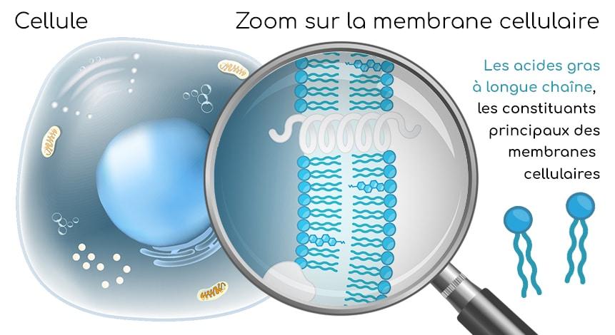 Les acides gras à longue chaine sont les constituants principaux des membranes cellulaires.