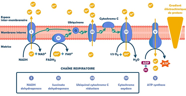 phosphorylation oxidative nutrixeal sport Info