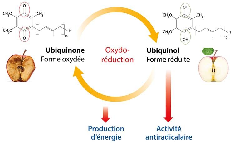 L'ubiquinol est la forme réduite de la coenzyme Q10.